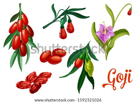 Goji plant berries, vector botanical design of barberry or wolfberry fruits. Natural organic super food and healthy nutrition dried goji berries for product package design Stock photo ©