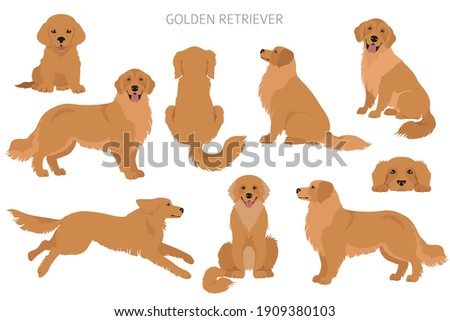 Golden retriever dogs in different poses and coat colors. Adult goldies and puppy set.  Vector illustration ストックフォト ©