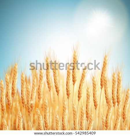 golden wheat field and sunny