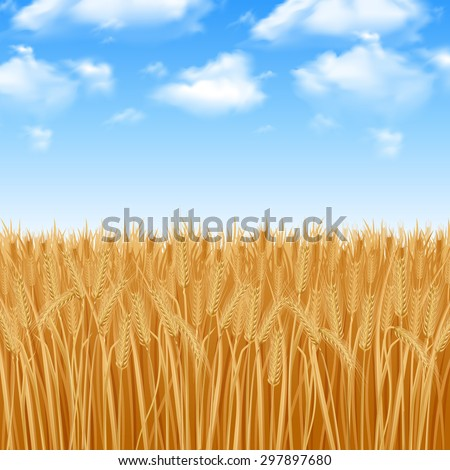 golden yellow wheat field and