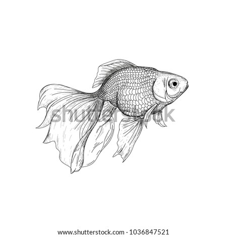 Goldfish illustration, drawing, engraving, ink, line art, vector. Fish sketch hand drawing. Goldfish