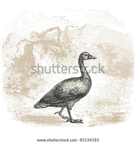 goose   vintage engraved