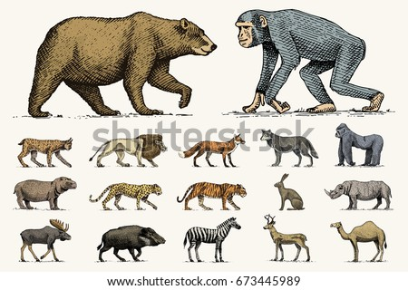 Stock Photo gorilla, moose or eurasian elk, camel and deer, rhinoceros. hare, wolf and bear with lion and tiger engraved hand drawn in old sketch style. set vintage wild animals from the world. side view.