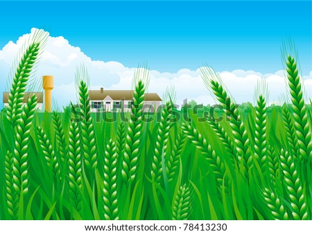 grain fields summer landscape