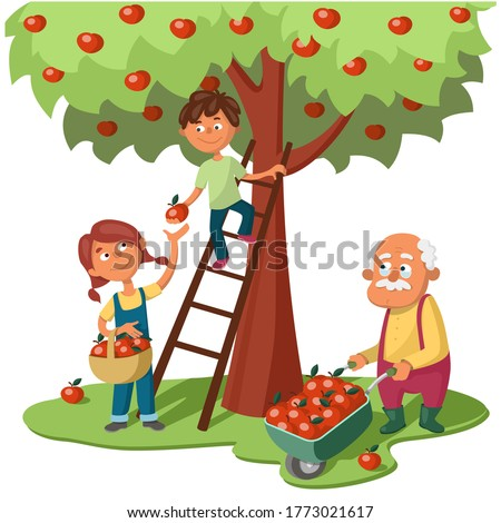 Grandchildren and grandfather harvest apples. A girl with a basket of apples takes an apple from a boy on a ladder. Old man with a garden wheelbarrow full of apples. Cartoon vector illustration.