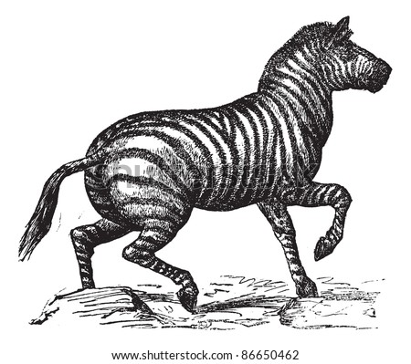 Grant's Zebra or Equus quagga boehmi, vintage engraving. Old engraved illustration of Grant's Zebra running in the meadow. Trousset encyclopedia (1886 - 1891).