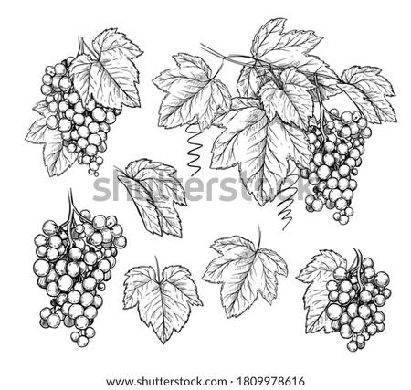 Fototapete Grape branch set. Isolated flat hand drawn grape branch, leaves collection. Vine fruit plant harvest sketch. Wine, vineyard vector illustration