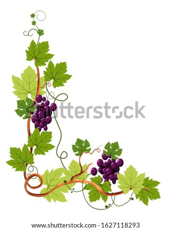 Grape bunches on vine, berries clusters on curled twig, plantation harvest vector. Vineyard, wine ingredient, viticulture and agriculture decor, winery. Organic product, farm plant growing, winemaking