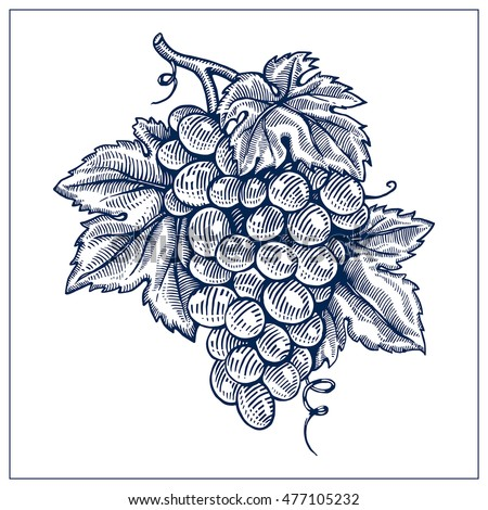 grapes drawing ink blue line