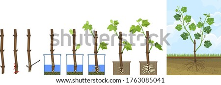 Grapevine vegetative reproduction scheme. Growth stages from propagule (stem cutting) to young rooted grapevine plant isolated on white background Foto stock ©