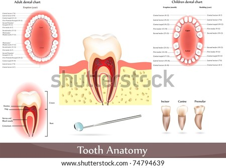 Great collection of Tooth anatomy Detailed diagrams Beautiful bright colors