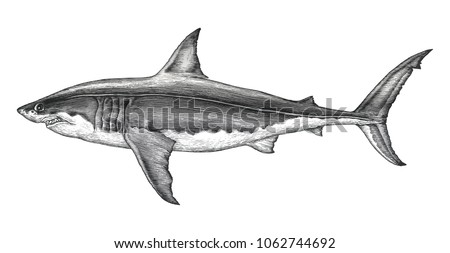 great white shark hand drawing