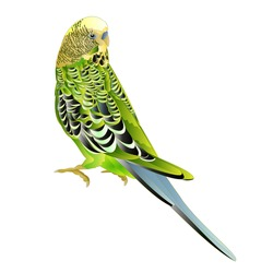 Green bird  budgerigar,green pet parakeet  or budgie or shell parakeet home pet natural  on a white background vintage vector illustration editable hand draw