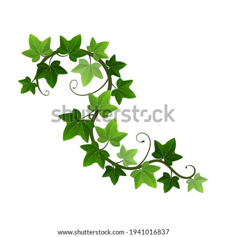 Green climbing ivy creeper branch isolated on white background. Hedera vine botanical design element. Vector illustration of hanging or wall climbing ivy plant Foto stock ©