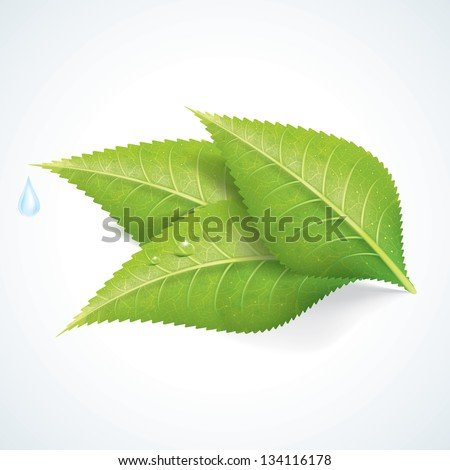 Green Leafs with Water Drop