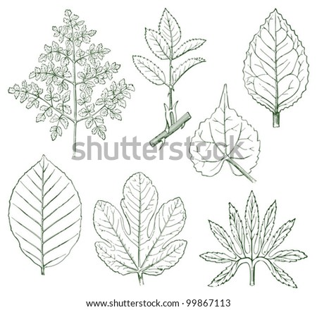 Green leaves collection / vintage illustration from Meyers Konversations-Lexikon 1897 - stock vector