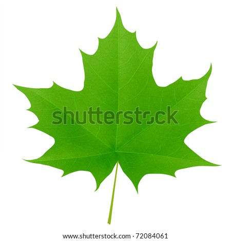 Green maple leaf isolated on white background. Vector eps10 illustration