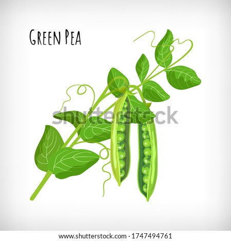 green pea plant  pea open pods