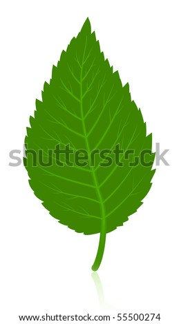 Green simple leave isolated on white