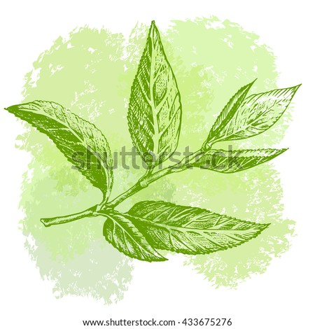 Green tea leaf hand drawing sketch. A sprig of green tea leaves with the stem.