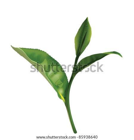 green tea leaf isolated on