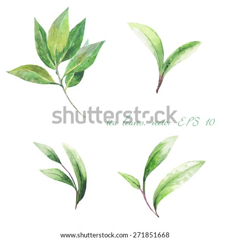 green tea leaves on a white background. vector. watercolor.