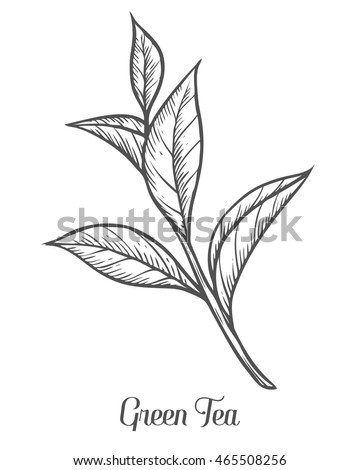 green tea plant  leaf hand