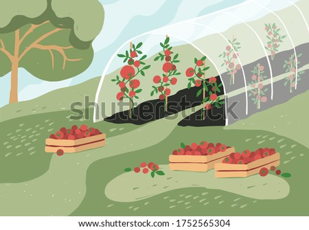 Greenhouse with tomato plants. Garden landscape. Harvest season. Wooden boxes with tomatoes on grass. Growing vegetables in agriculture. Gardening, horticulture, cultivated land vector illustration. ストックフォト ©