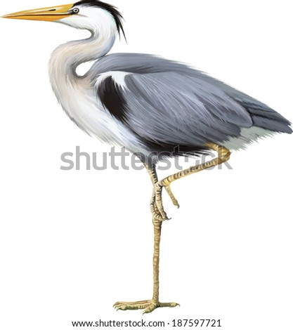 Grey Heron standing Ardea Cinerea isolated on white