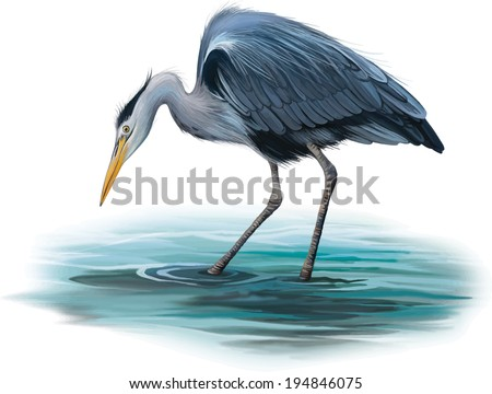 Grey Heron standing in the water hunting with head bent down, Ardea Cinerea, isolated on white