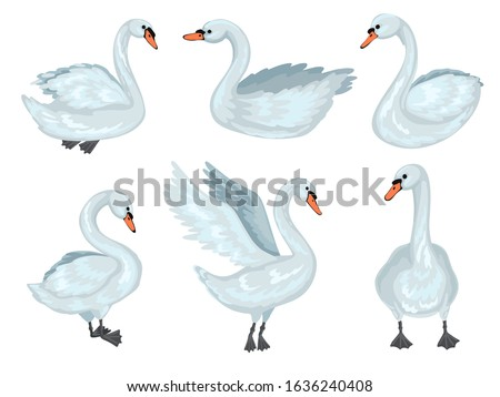 grey swans in different poses