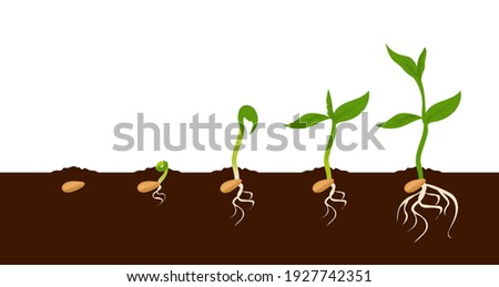 Growing plant. Sprout growth process. Steps sequence of germinating seeds for seedlings. Development cycle of vegetables in nature, appearance of roots and first leaves. Vector evolution phases set