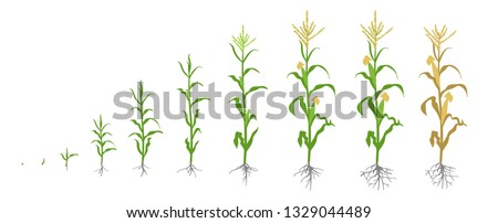 Growth stages of Maize plant. Corn phases. Vector illustration. Zea mays. Ripening period. The life cycle. Use fertilizers. On white background.