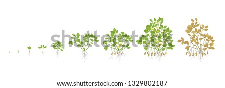 Growth stages of peanut plant. Peanut increase phases. Vector illustration. Arachis hypogaea. The life cycle. Also known as the groundnut, goober or monkey nut. Ripening period.