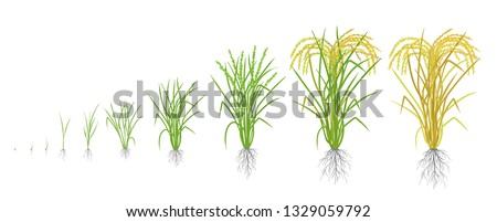Growth stages of rice plant. Rice increase phases. Vector illustration. Oryza sativa. Ripening period. The life cycle. Use fertilizers. On white background.
