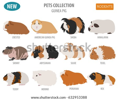 guinea pig breeds icon set flat