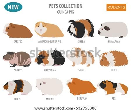 guinea pig breeds icon set flat