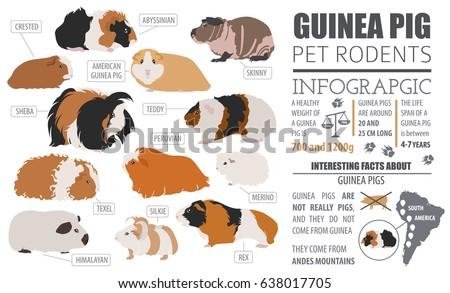 guinea pig breeds infographic