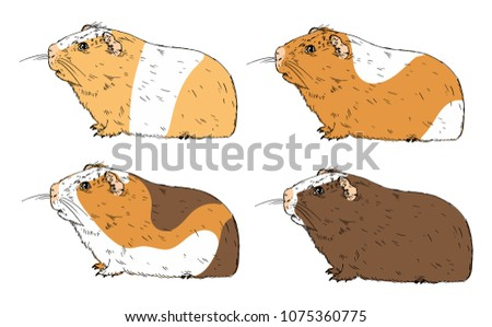 guinea pigs isolated on white