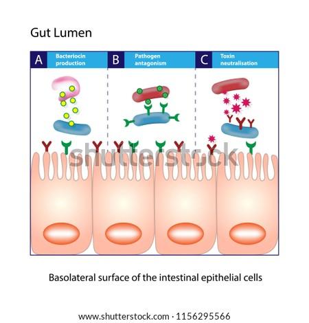 Gut lumen. Enterocytes, or intestinal absorptive cells. Small intestine. Columnar epithelial cells Stockfoto ©