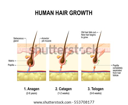 Hair growth. anagen is the growth phase; catagen is the regressing phase; and telogen, the resting or quiescent phase. Vector diagram