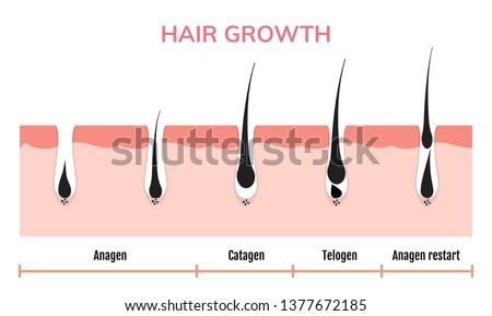 Hair growth cycle skin. Follicle anatomy anagen phase, hair growth diagram illustration.