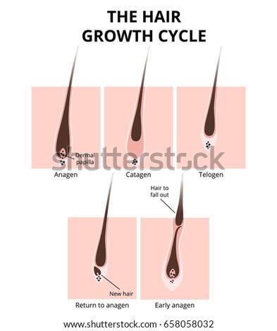 Cross Section Of Straight Hair Round And Curly Hair Flatten