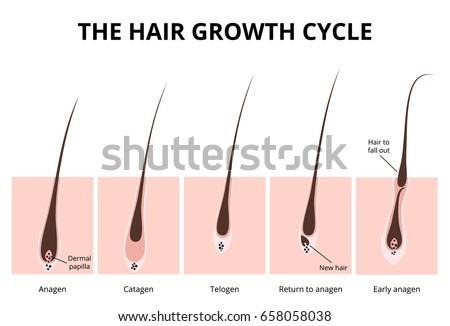 hair growth phase  anatomy...