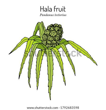 Hala fruit, Pandanus tectorius, edible and medicinal plant. Hand drawn botanical vector illustration Stok fotoğraf ©