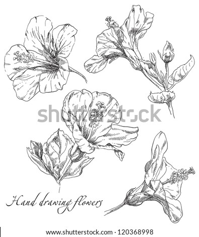 Hand draving Hibiscus flower blossom