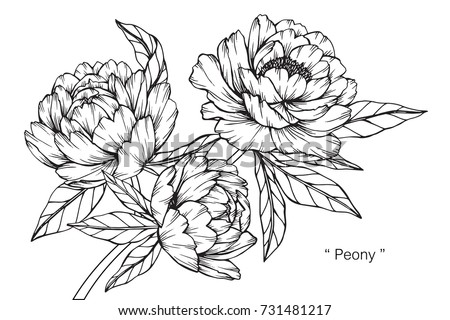 hand drawing and sketch peony
