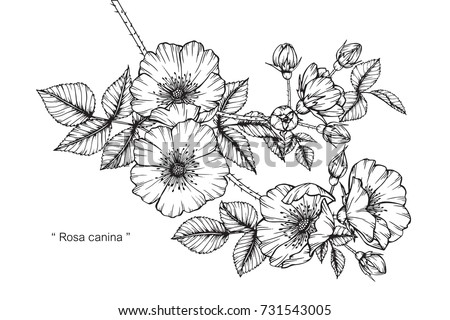 Hand drawing and sketch Rosa canina flower. Black and white with line art illustration. #731543005