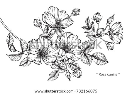 Hand drawing and sketch Rosa canina flower. Black and white with line art illustration. #732166075