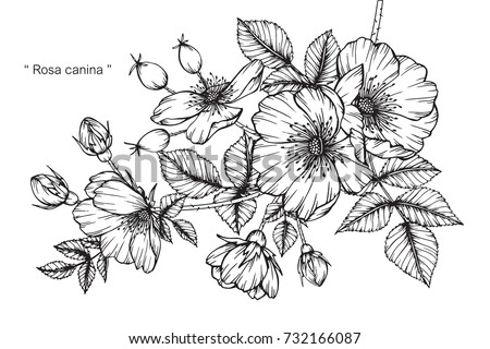 Hand drawing and sketch Rosa canina flower. Black and white with line art illustration. #732166087